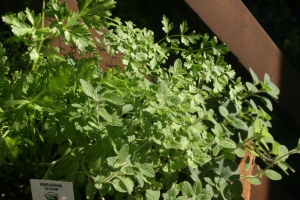 Houseproud homestead - pot o' fresh herbs in the sun on our back porch
