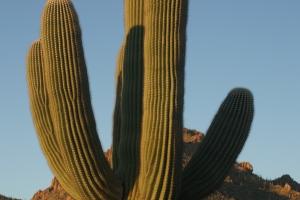 Saguaro cactus in the Sonoran desert.