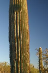 Saguaros, saguaros, how I love thee ...