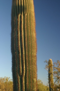 Saguaros, saguaros, how I love thee ...